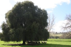 The Grandfather Tree at the Winter Cooke's property 'Murndal', near Hamilton.