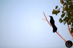Black-Bird-1
