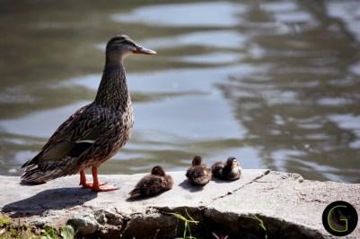 Common-Duck-1