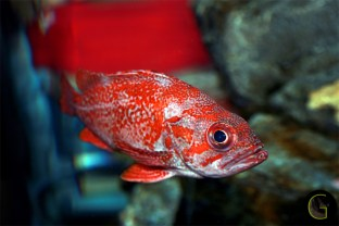 Fish-Red-Snapper-1