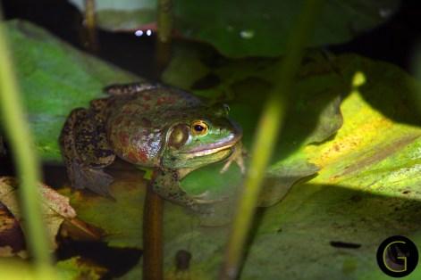 Frog-Bull-1