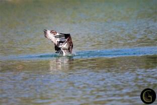 Hawk Osprey-5 (2)