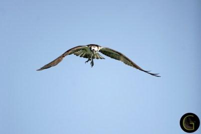 Hawk Osprey-5 (6)