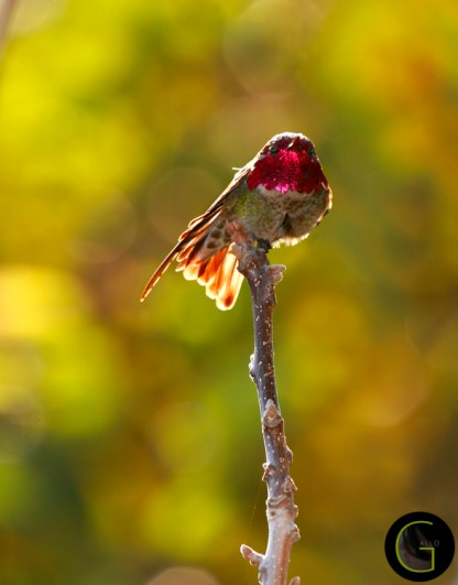 Humming-Bird-10