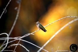 Humming-Bird-11