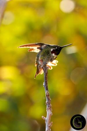 Humming-Bird-5