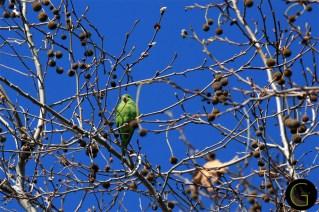 Parakeet-Green-1
