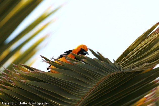 Hooded-Oriole-03