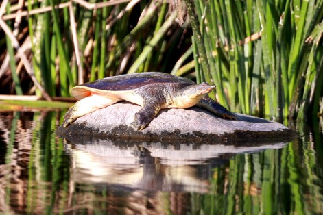 Soft-Shell-turtle-1