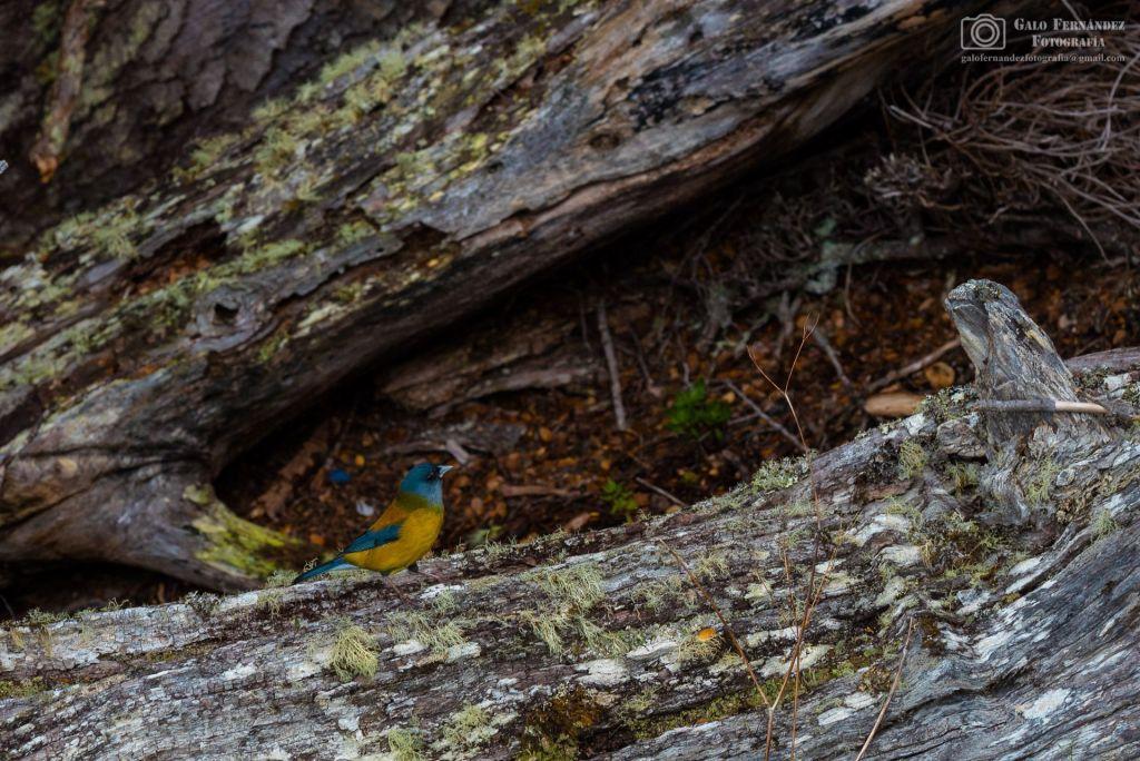 Comesebo Patagónico (Phrygilus Patagonicus), Ushuaia - SC