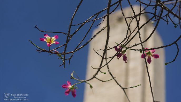 Flor de Palo Borracho en el Monumento a la Bandera, Rosario - Santa Fe (SF) - Plano de Enfoque