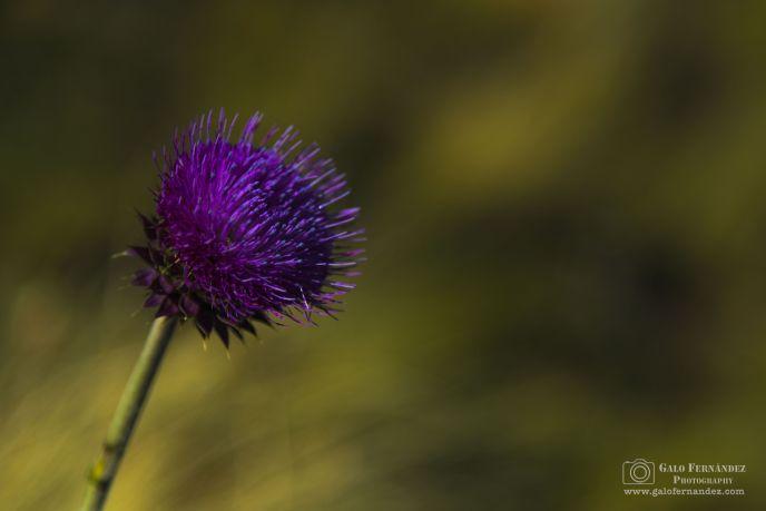 Flor de Cardo, Altas Cumbres - San Luis (SL) - Profundidad de Campo