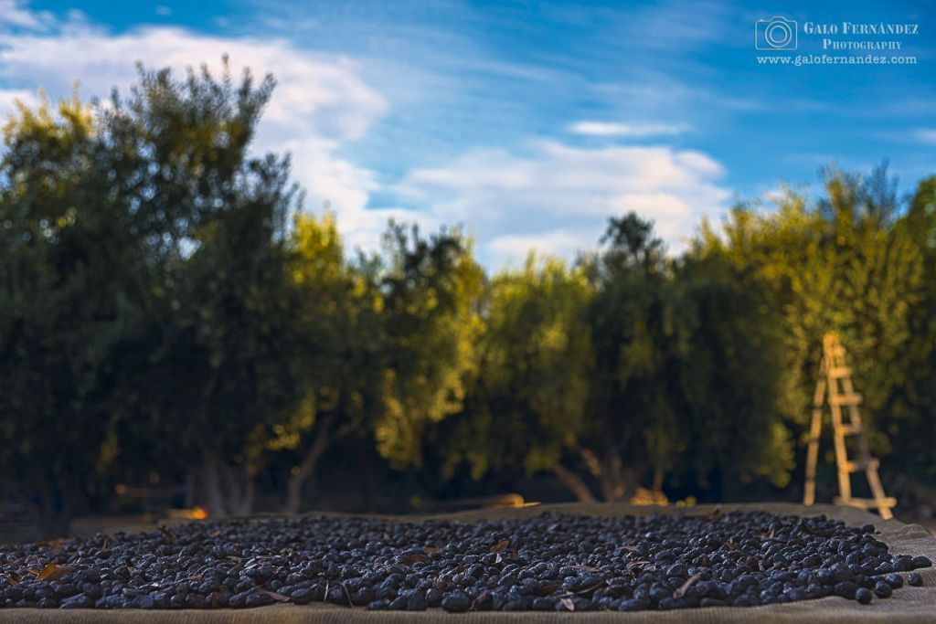 Olives drying under the sun