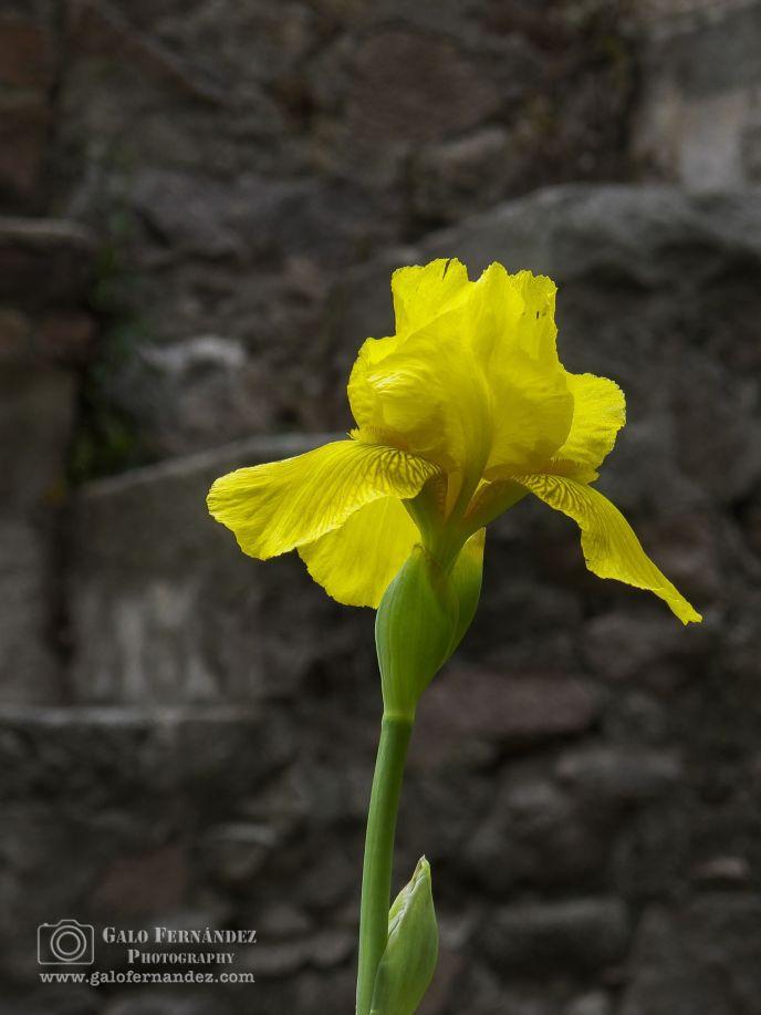Iris Amarillo, La Falda - CD