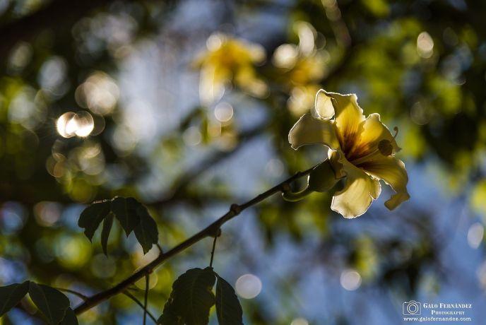 Flor Amarilla de Palo Borracho, Rosario - Santa Fe (SF) - ¿Qué es el Bokeh?
