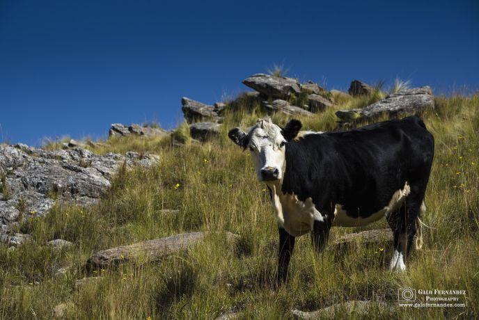 Vaca Holando Argentina en las Sierras Comechingones - San Luis (SL) - Profundidad de Campo