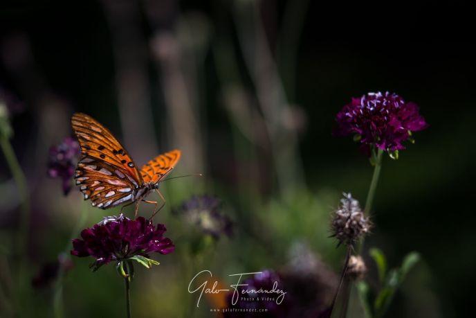 Mariposa Monarca - PBA