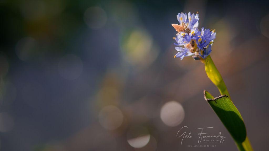 Jacintos de Agua (Eichhornia crassipes), Colonia del Sacramento - UY