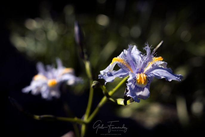 Iris japonica o Lirio de Japón (Fringed Iris) - PBA