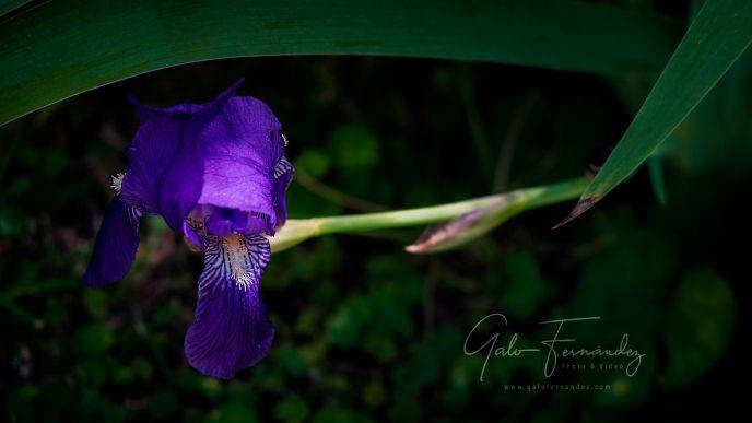 Lirio Azul (Iris Pallida) - PBA