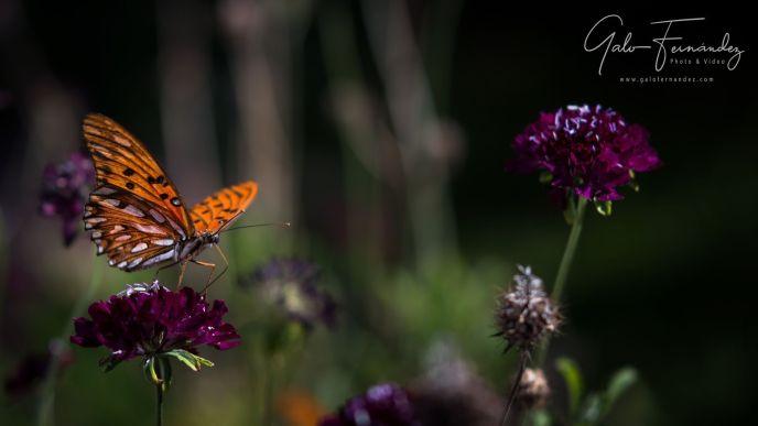 Mariposa Monarca del Sur sobre Viudita (Scabiosa Atropurpurea) - PBA