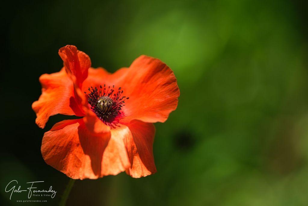Amapola Naranja (Papaver Setigerum) - PBA.