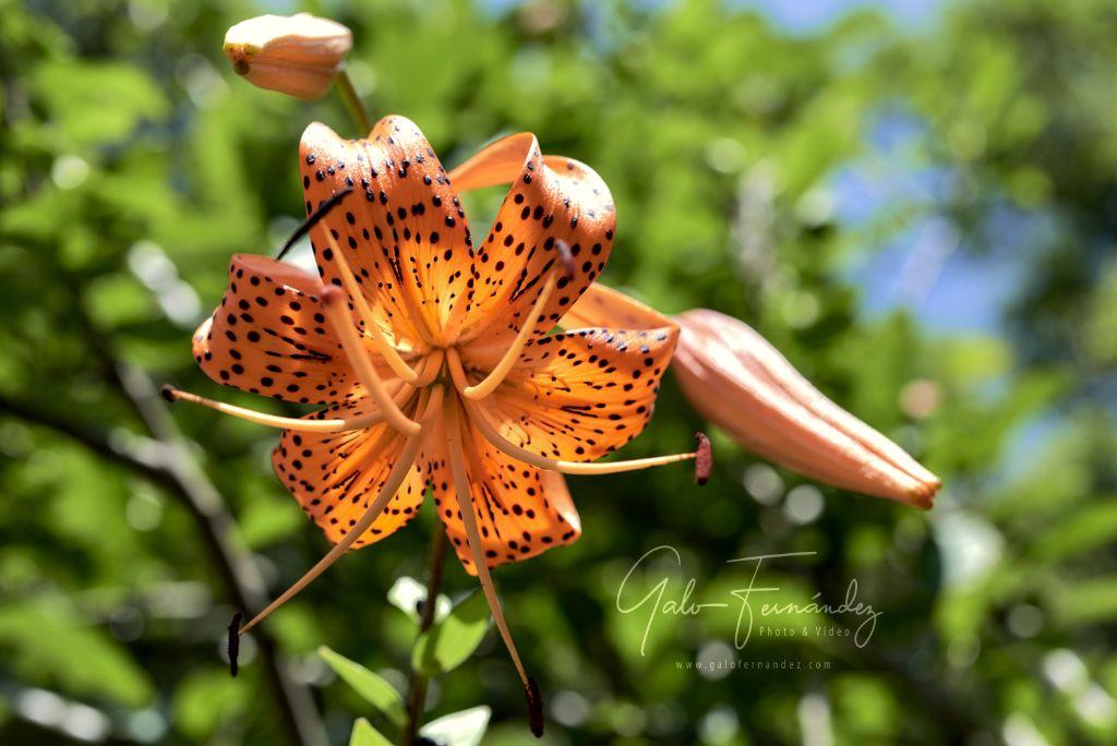 Azucena de Tigre (Lilium Lancifolium) - PBA