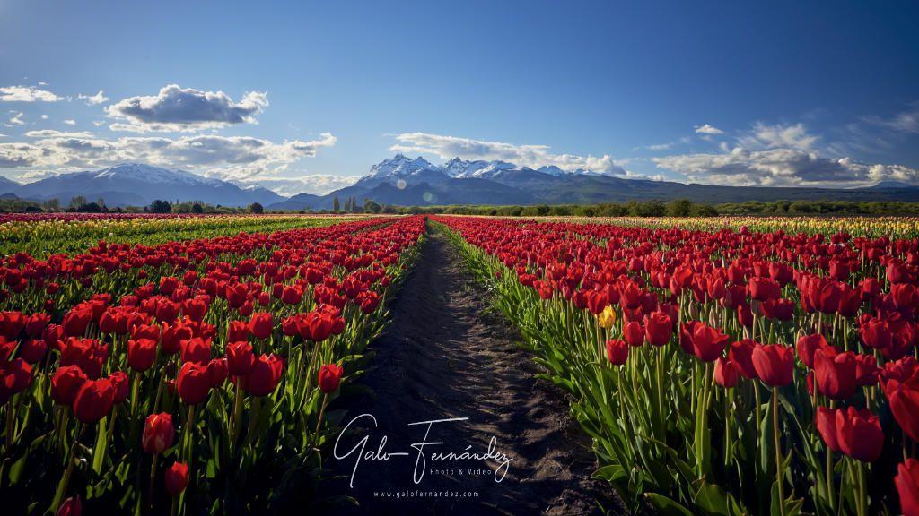 Campo de Tulipanes en la localidad de Trevelin - CH