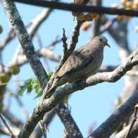 Common Ground Dove.jpgs
