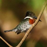 Green Kingfisher1