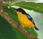 Blue-winged Mountain-tanager s