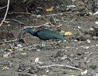 Green Ibis s