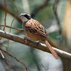 Stripe-headed Sparrow s