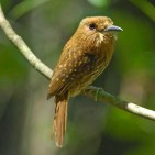 White-whiskered Puffbird fs