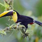 Yellow-bel Toucan s