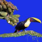 Yellow-throated Toucan s