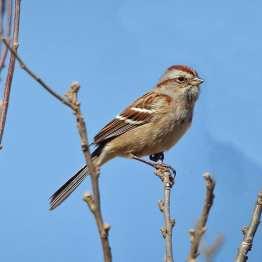 Am Tree Sparrow s