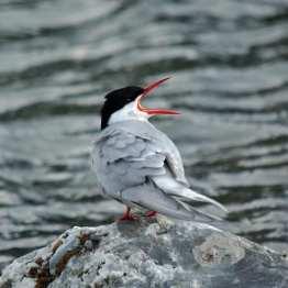 Arctic Tern on rock1.jpgs