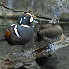 Harlequin Duck pr