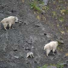 Mountain Goats.jpgs