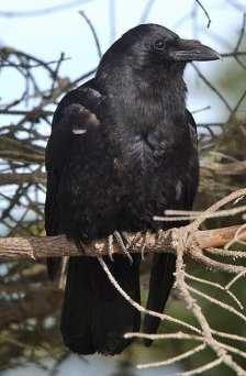 NW Crow 3.jpgs