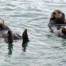 Otter pr1.jpgs