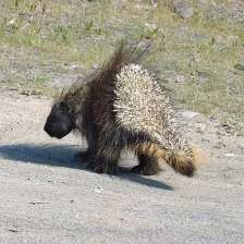 Porcupine on road.jpgs