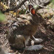 Snowshoe Hare in shade.jpgs