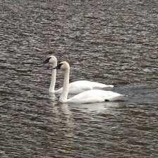 Trumpeter Swan pr.jpgs