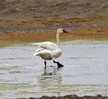 Tundra Swan wading.jpgs