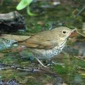 Swainson's Thrush in pond