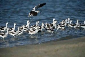 true winter shorebirds