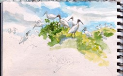 Infamous for being the site of one of the most brutal bird massacres during the plume hunting era, Cuthbert Lake still holds a Wood Stork colony. I did this sketch from a skiff while surveying the area with Audubon colleagues.