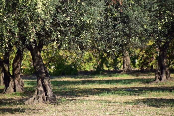 Отель La Boella расположен на территории оливковой фермы.